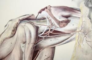 Anatomische Zeichnung eines Körperteils mit Faszien